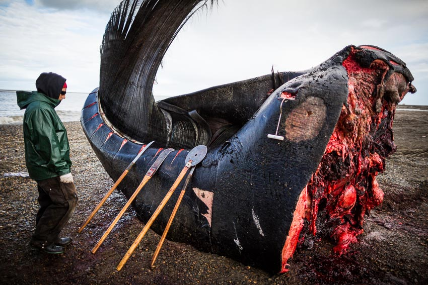 Eddie Rexford pauses while butchering a Bowhead whale head on the beach in Kaktovik.