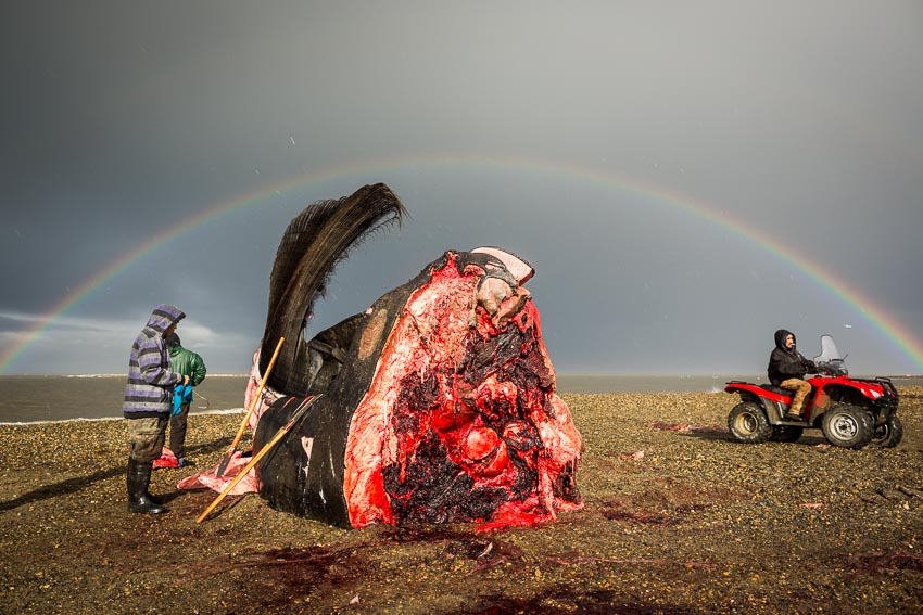 Kaktovik residents butcher a whale head on the beach in Kaktovik.