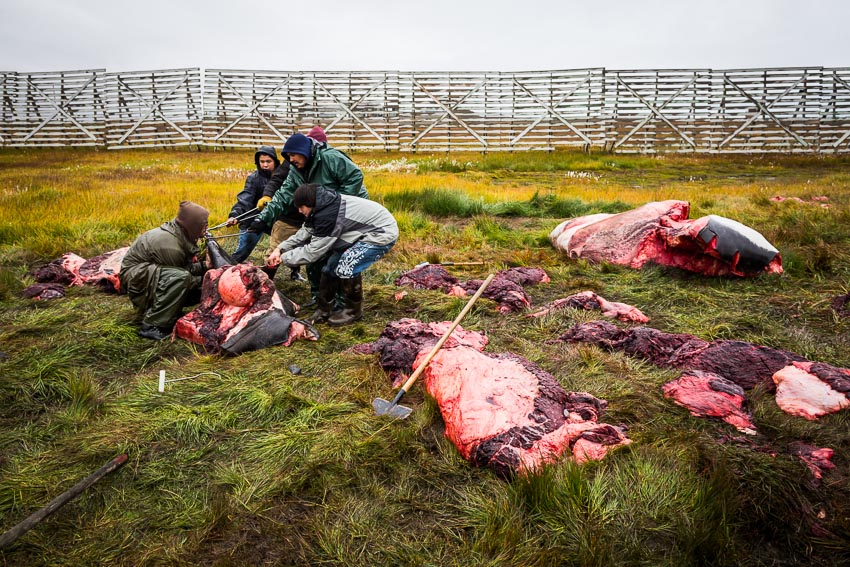 Kaktovik residents butcher and distribute meat from a 44' bowhead whale, the first harvest of the year.