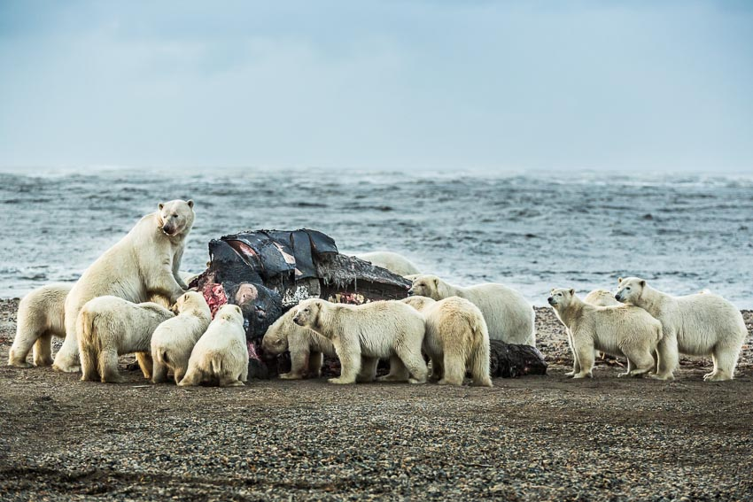 Polar bears congregate around a Bowhead whale carcass on the beach in Kaktovik, Alaska.