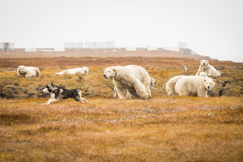 Polar bears chase off a dog that escaped from its owner in Kaktovik. The village has one of the largest concentrations of polar bears in the world.
